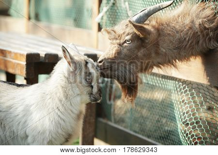 Cute funny goat and kid in zoological garden