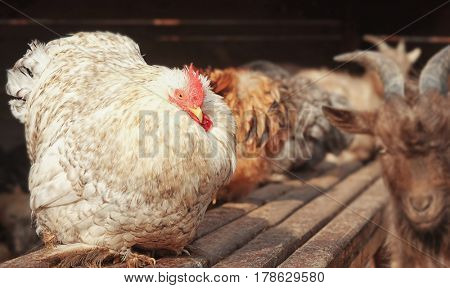 Domestic cock in zoological garden