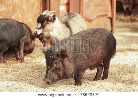Cute funny pig and goat in zoological garden