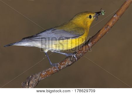 A Prothonotary Warbler, Protonotaria citrea with insect in beak