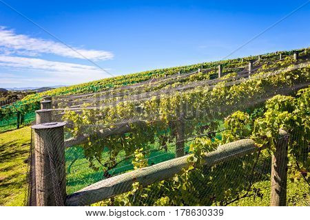 Wine vineyard and blue sky
