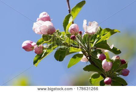 flowers on apple trees against the blue sky .