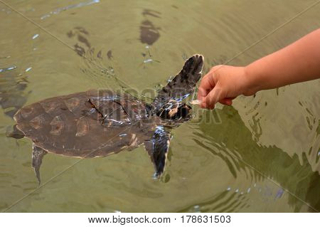 feeds a Hawksbill Sea Turtle in Fiji.It is critically endangered sea turtle belonging to the family Cheloniidae.