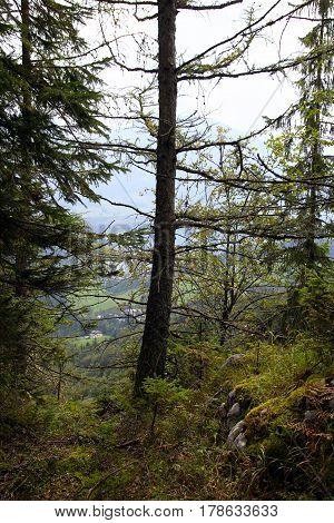 Travel To Sankt-wolfgang, Austria. The Green Trees In The Mountains Forest.