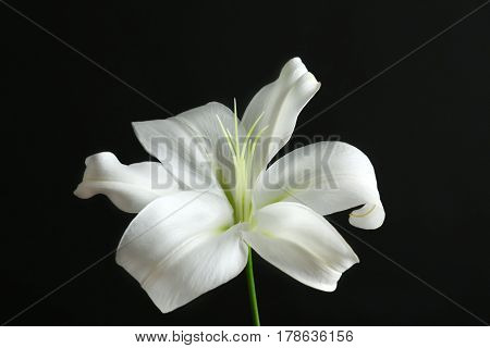 Beautiful white lily on black background