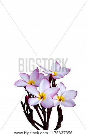 (With clipping path) Isolated beautiful sweet white flower plumeria frangipan