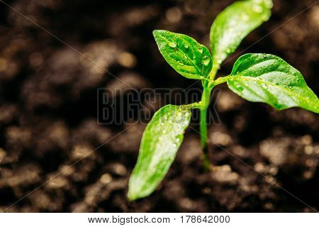 Pepper leaves covered with dew. Seedling in the closed ground. Close-up