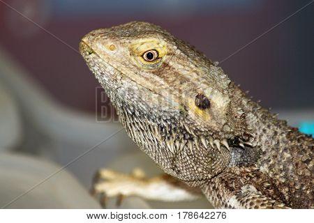 Closeup of a Bearded Dragon in Profile
