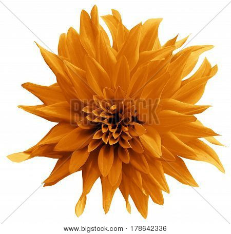 Orange flower. isolated on the white background with clipping path. Close-up. Shaggy yellow flower dahlia. Nature.
