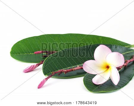 plumeria flowers with green leaf isolated on white background, frangipani colorful  tropical flowers bloom summer for home decorating or Asian-style spa