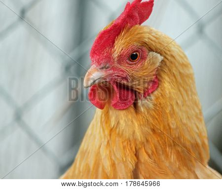 Golden Backyard Chicken Looking Mean and Defensive