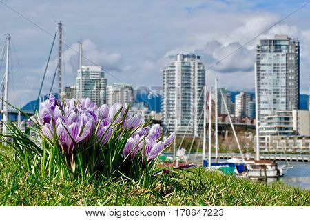 Crocus flowers in city garden in spring. False Creek in  Kitsilano. Vancouver. British Columbia. Canada.