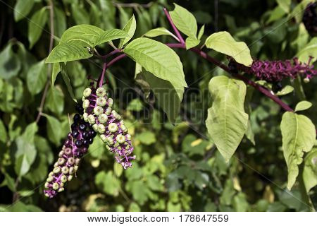 Close up of a hanging bunch of yellow red dark purple buds with leaves all around at Plimoth Plantation, Plymouth, Massachusetts on a bright sunny day in September.