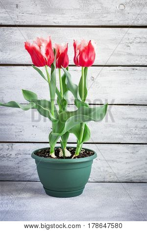 Beautiful terry tulips grown at home in a pot.