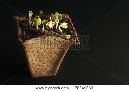 Spring radish seedlings for your small garden. Dark background. Peat pot for seedlings with soil and plants