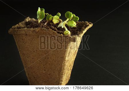 Spring radish seedlings for your small garden. Dark background. Peat pot for seedlings with earth and plants