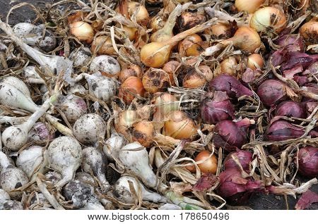 the stack of freshly harvested assorted ripe onion bulbs in the vegetable garden