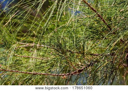 Selective focus of casuarina branches on blue sky background