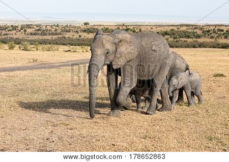 Elephants in Africa in the natural environment