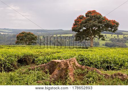 Tea plantation in Africa Kenya Tropics Among the plantation is a beautiful tree
