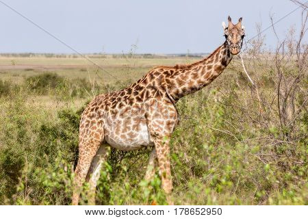 Giraffes are walking in the shroud, the National Park Africa
