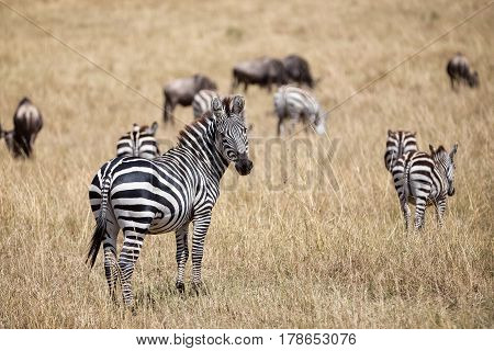 Zebra in the Amboseli National Park. Kenya