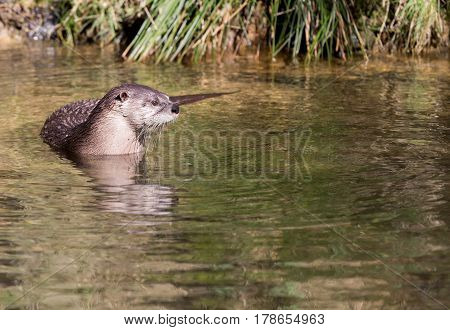 North American river otter (Lontra canadensis) in lake poster