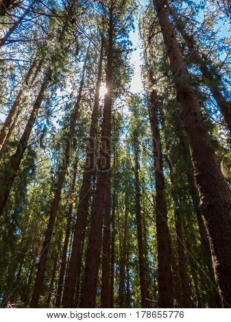 vista del sol atravez  de bosque de pinos