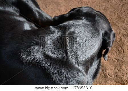 A Rottweiler breed dog sleeps on a rug curled up in a ball. Top view. close up