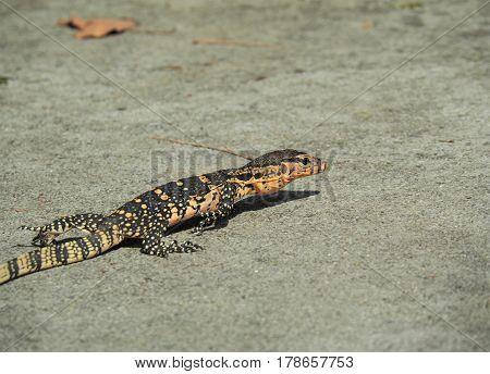 Isolated Water Monitor, Varanus Salvator, Monitor Lizard Crawling On Ground