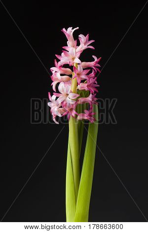 Hyacinth pink color on the  black background