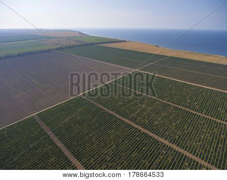 Aerial view on extensive vineyards near sea in Krasnodar Krai, Russia