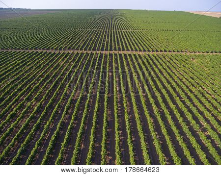 Aerial view on extensive vineyards  in Krasnodar Krai, Russia