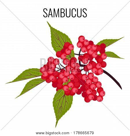 Sambucus ayurvedic medicinal herb, elder or elderberry isolated on white. Elderberry fruit used as dietary supplements for diseases such as flu. Red berries and leaves realistic vector illustration