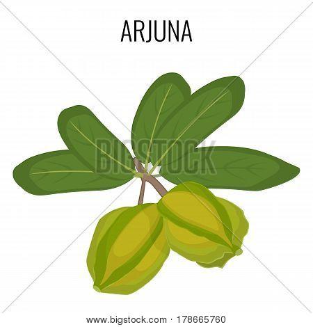 Arjuna ayurveda medicinal herb isolated on white background. Terminalia Arjuna or White Marudah realistic vector illustration