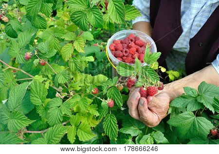 hands of senior woman picking raspberries in the garden