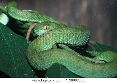 snake (green pit viper) in forest thailand