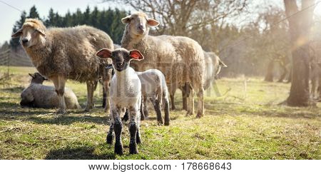 Panorama Lamb and sheep flock concept animal welfare