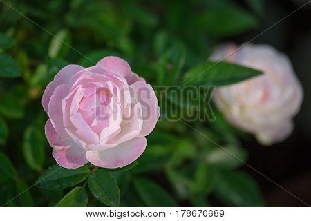 Pink Camellia sasanqua in the winter garden