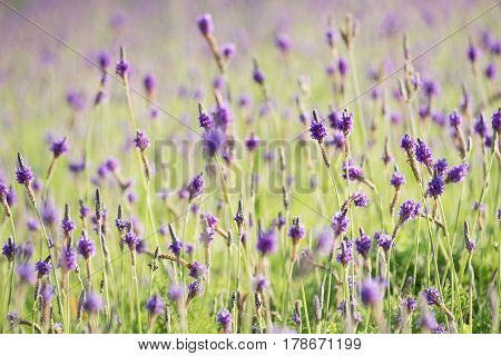 Close-Up Of Lavender field Blooming Outdoors in morning
