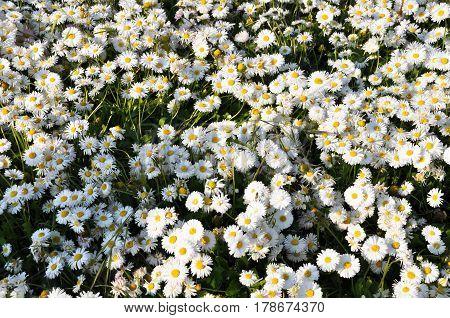 Four beautiful daisy on a green field