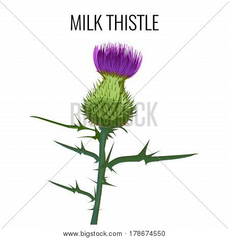 Milk thistle isolated on white background. Blessed milkthistle, Marian thistle, Mary thistle, Saint Mary s thistle, Mediterranean milk thistle, variegated or Scotch thistle vector illustration