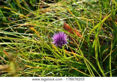 Botanical Name - Allium Schoenoprasum