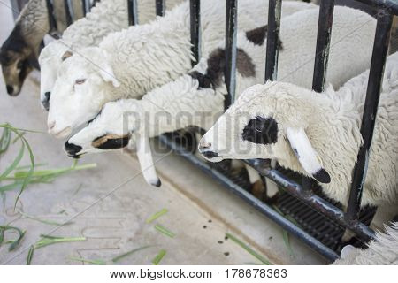 Sheeps in farm. Sheeps enjoy eating grass in farm with selective focus.