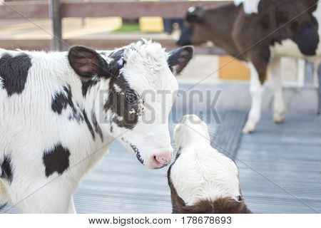 Cows in farm. Calf play happily. Dairy cows. selective focus.