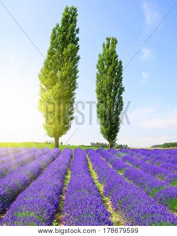 Field of lavender with poplar trees in sunny day.