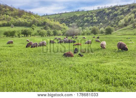 herd of sheep grazing on the green meadow in the springtime