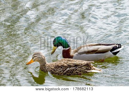 Image of an animal a wild drake and a duck sail on a pond