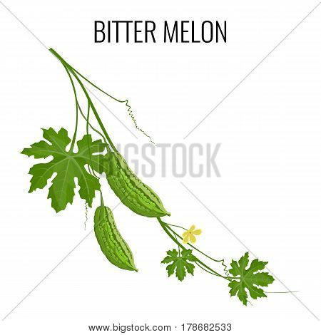 Bitter melon pod isolated on white background. Branch of balsam-pear with mature fruits, green leaves and yellow flower. Vector illustration of isolated asian healthy bitter gourd in flat design