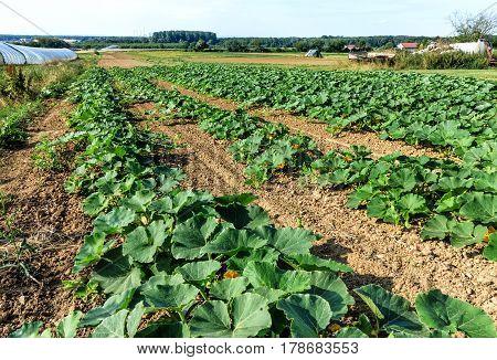 Rows of growing zucchini (Cucurbita pepo) in field
